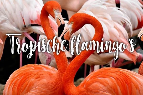 Tropische flamingos
